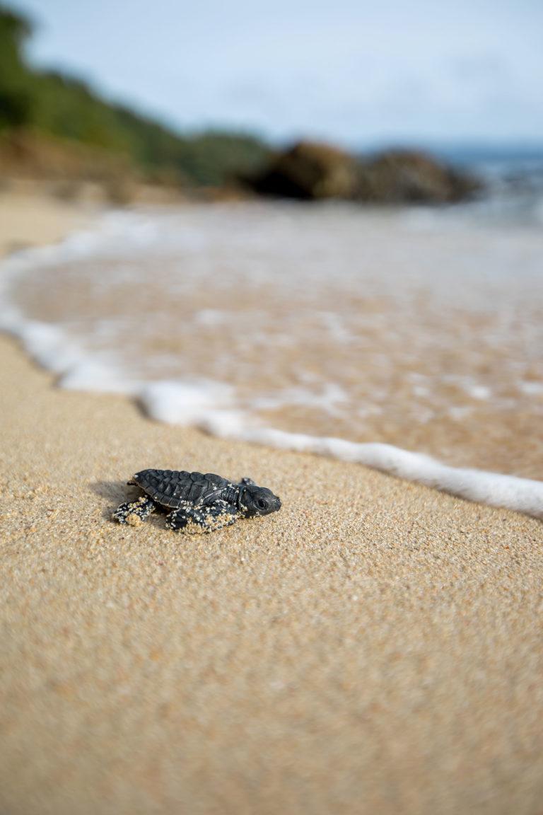 baby-turtle